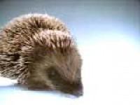 Zamilovaný ježek