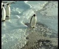 Tučňák frajer