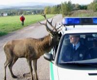 Zvědavý jelen