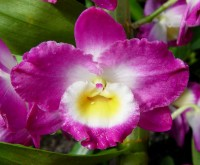 orchidej rodu Cattleya