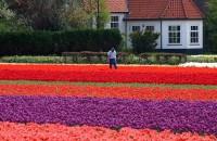 Tulipány v Keukenhofu, Holandsko, Evropa