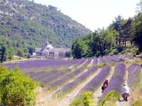 Levandulová pole, Senaque, Provance, Francie, Evropa
