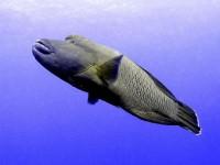Napoleonská ryba