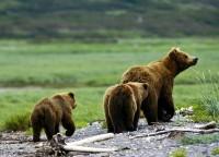 Medvědice grizzlyho s mláďaty