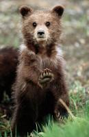 Mládě medvěda černého