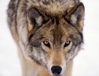 Pohled do očí šedého vlka