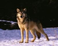 Setkání s vlkem