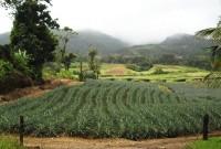 ananasove pole (Autor: srr)