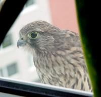 Poštolka na okenním parapetu