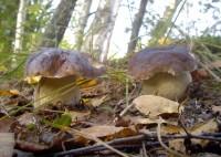A houby rostly i druhý den. Na hrázi rybníka jsme potkali tyhle pravé hřiby.