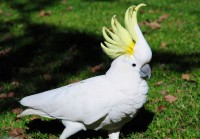 Parrot Cockatoo