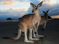 The kangaroo is a national symbol of Australia