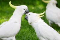 Parrots Cockatoo in Sydney