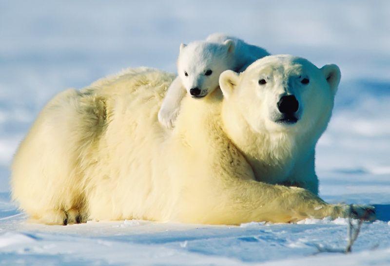 Nalezený obrázek pro ledni medved