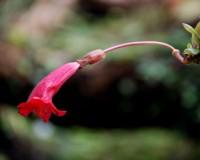 Aeschynanthus lobbiana