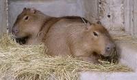 V pražské zoo bydlí také největší hlodavci světa, jihoamerické kapybary