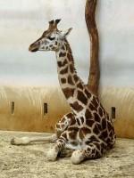 Mládě žirafy Rothschildovy