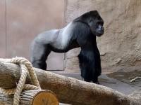 V pavilonu goril