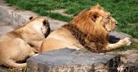 Vyhřívající se lvi na sluníčku