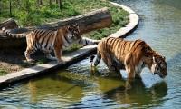Tygři laškují ve vodní nádrži