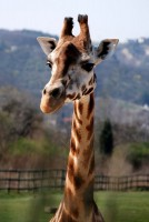 Žirafa Rothschildova