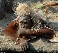 Orangutan v pavilónu Indonéské džungle