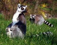 Lemurové kata skotačili v trávě