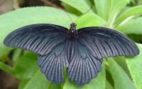 Otakárek Papilio memnon z Asie