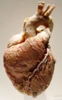 Preparát lidského srdce