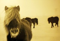 Islandští ponny Thelmy Gunnarsdóttir