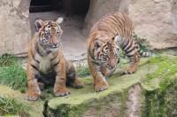 Tygří dvojčata v pražské zoo slaví narozeniny