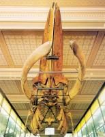 Velryba v Národním muzeu slaví 120. výročí
