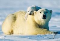 V pražské zoo uhynulo čerstvě narozené mládě medvěda ledního