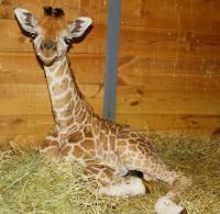 Žirafí přírůstek v Zoo Praha