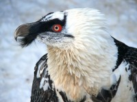 Mládě orlosupa v Zoo Liberec