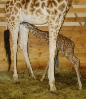 Žirafí boom v Zoo Praha pokračuje