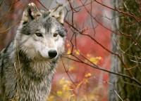 Večerní procházka za vlky