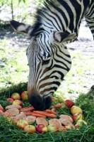 Zebra Blanka oslavila kulatiny