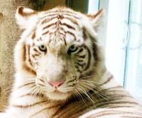 Bára Špotáková se stala patronkou tygřice