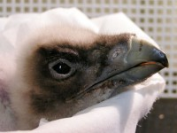 V Zoo Liberec se podařilo odchovat další mládě vzácného orlosupa bradatého
