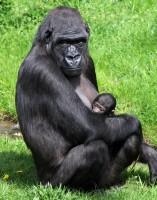 Zoo Praha hledá jméno pro narozenou gorilu