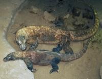 Vášně u komodských draků v pražské zoo