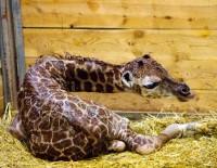 Žirafa Diana porodila v pražské zoo na své narozeniny holčičku