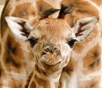 70. mládě žirafy Rothschildovy v pražské zoo