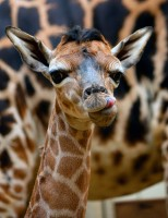 Zoo Liberec má mládě žirafy a orlosupa