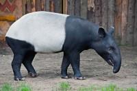 Vítání nového tapíra v Zoo Praha