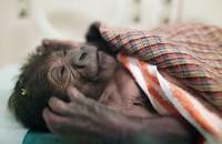 V Zoo Praha se narodilo gorilí mládě samici Bikiře