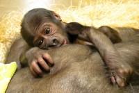 Gorilí mládě Tano se má ve Stuttgartu dobře, odchod Moji se opět přiblížil