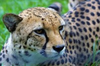 Zoo Praha představí na Nový rok 2012 nové gepardy