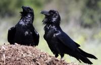 Vylíhnutý krkavec ohlásil v pražské zoo jaro